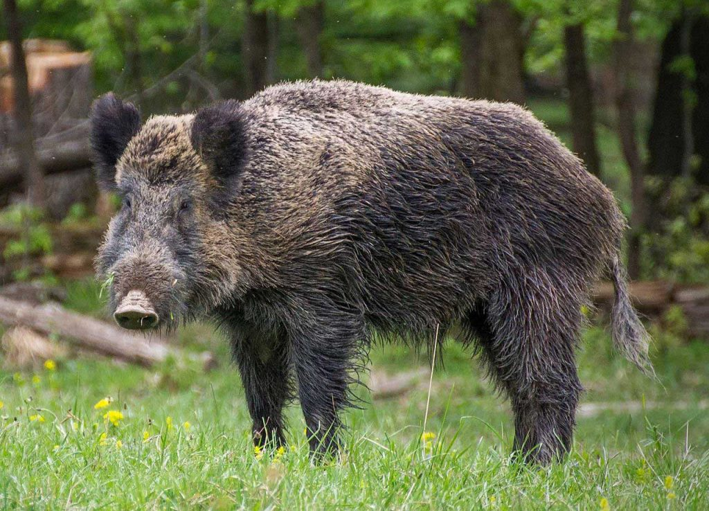 Authotr: Valentin Panzirsch CC Wiki | Boar | safety | cool Slovakia