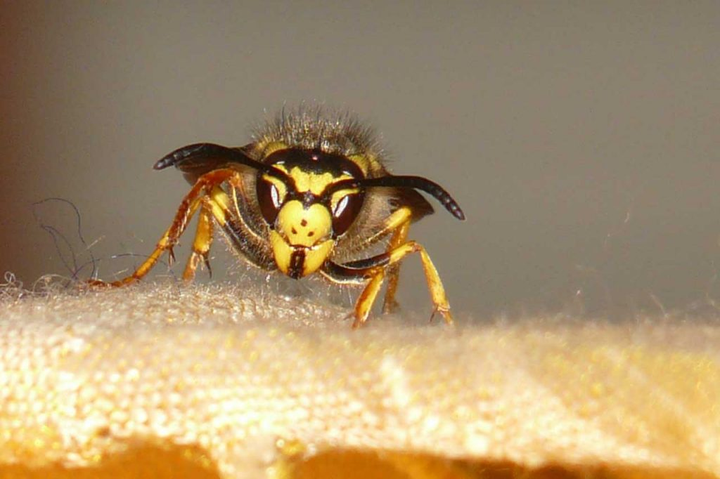 Wasp, bees, hornets   CoolSlovakia