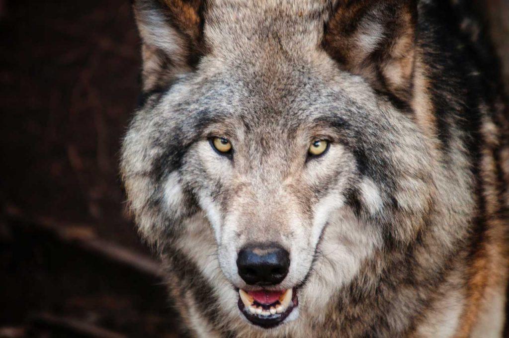 Steve: Wolf Cool Slovakia |